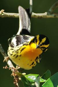 Blackburnian warbler Boy Scout Woods, High Island, TX