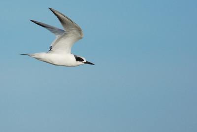 Forster's Tern, Quintana Beach Freeport, TX