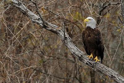 Bald eagle Brazos Bend State Park