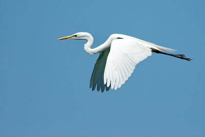 Great Egret High Island, Texas The Rookery at Smith Oaks