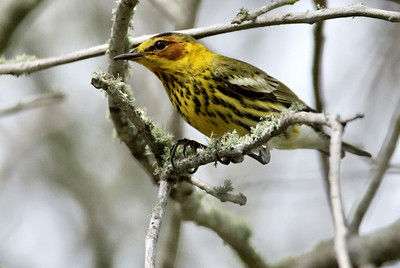 Cape May warbler Quintana Neotropic Bird Sanctuary Freeport, TX