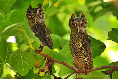 You should have see the two mockingbirds skeedadle out of the tree when they flew and perched themselves next to the owls.