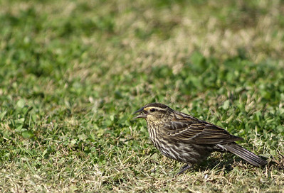 Female Red-Winged Blackbird photographed at Bay City Birding Center
