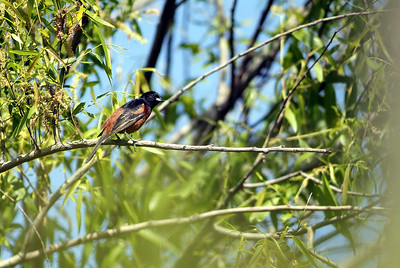 This Orchard Oriole (male) was photographed at Sabine Woods, Texas Orithological Society Preserve near Sabine Pass, TX.