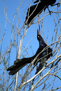 This Great-tailed Grackle was vocalizing his dominance to the others at the Quintana Bird Sanctuary.
