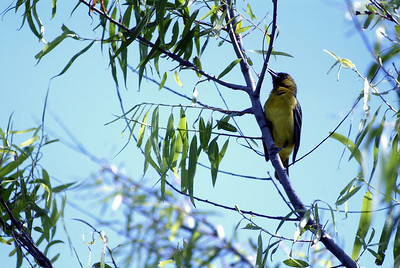 Orchard Oriole (female) photographed in The Willows.