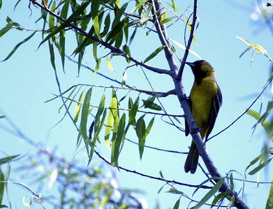 Orchard Oriole (male 1st spring) photographed in The Willows