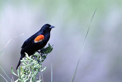 This Red-winged Blackbird was photographed in the McFaddin National Wildlife Refuge.