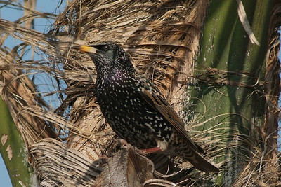 This European Starling was photographed in San Pedro, CA.  It is a common bird and seen everywhere.  It has a striking appearance with all the spots and brown wings.