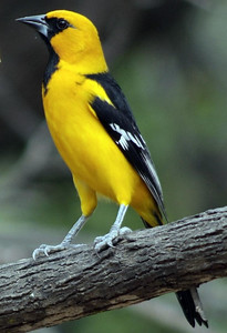 """Altamira Oriole is distinguished from the Hooded Oriole by a its larger size and """"V"""" notched orange shoulder patch."""