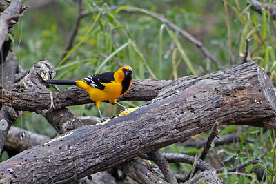 Altamira Oriole photographed at the Dewind's place in Salineno, TX.