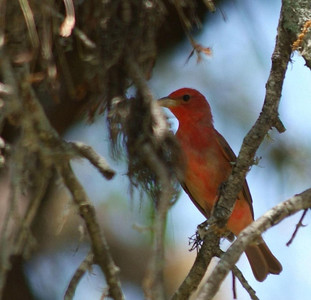 Summer Tanager in Bear Creek Park, Harris County, Texas.