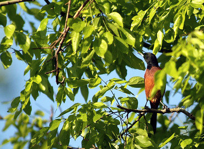 The Orchard Oriole (male) was with a female.  Both were feeding after migrating across the Gulf of Mexico at The Willows Sanctuary on the Texas coast.