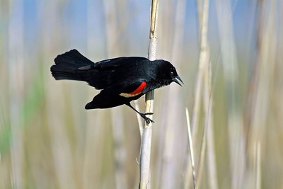 Red-winged Blackbirds are one of the most common birds seen along the roadside.  As in most species the male is the most dressed up wearing a black suit and with red/yellow shoulder pads.  This bird was photographed in Anahuac NWR.