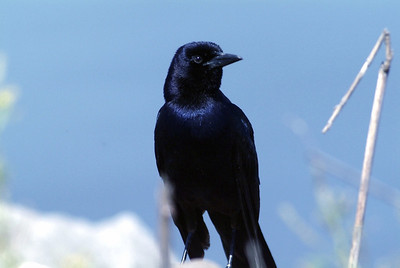 This Boat-tailed Grackle was photographed in McFaddin National Wildlife Refuge near Port Arthur, TX.  The most noticeable difference between it and the Great-tailed is the eye color.  This one has a dark eye and the Great-tailed has a yellow eye.