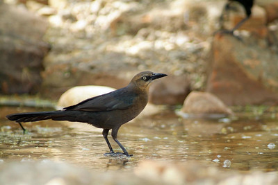 This female Great-tailed Grackle was taking a bath.  She was photographed in Quintana Sanctuary in Freeport, TX.