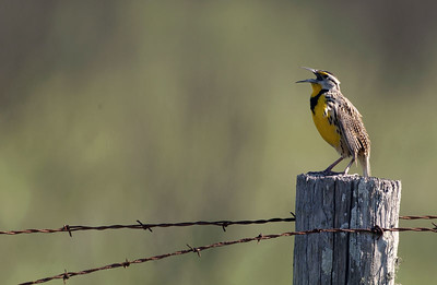 This Eastern Meadowlark was singing about his territory as I drove into the Brazoria NWR.