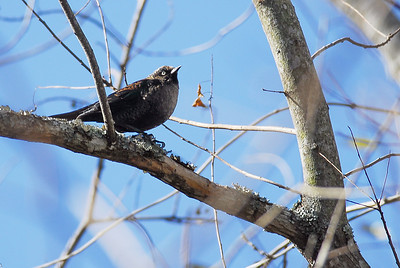 Rusty blackbird photograhed in Bear Creek Park