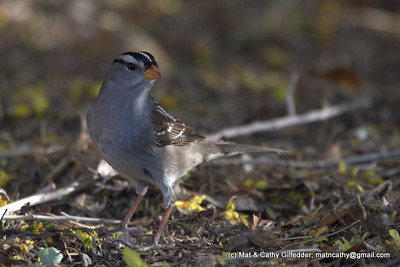 White-crowned Sparrow 5724