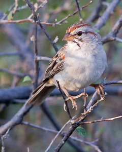 Rufous-winged Sparrow 9756