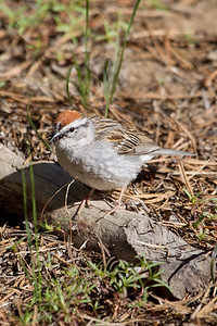 Chipping Sparrow 4348
