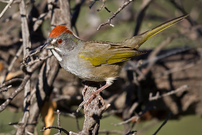 Green-tailed Towhee 9836