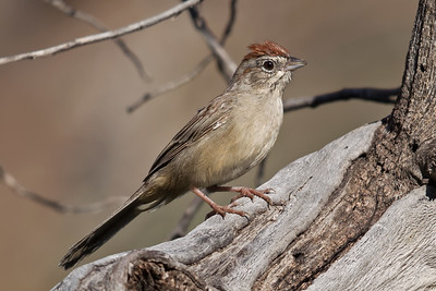 Rufous-crowned Sparrow 9866