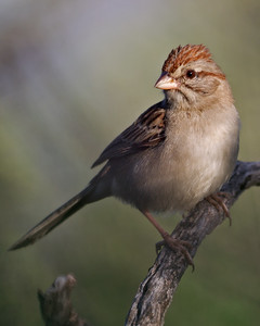 Rufous-winged Sparrow 1199