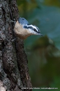 Red-breasted Nuthatch 5169
