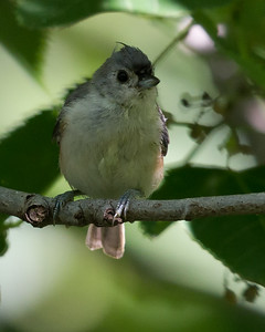 Tufted Titmouse 8478