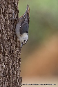 White-breasted Nuthatch 6795