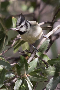 Bridled Titmouse 1457