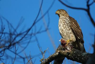 Coopers hawk female