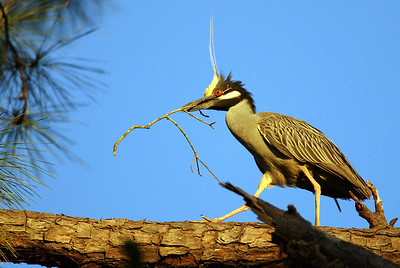 Courtship, Mating and Nesting Behavior