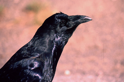 """I watched this Common Raven hop on a motorhome front grill and scrape the bugs off with his beak for a meal.  He then jumped up on the windshield and scraped the glass clean of dead bugs.  Talk about adapting to your environment, """"Where's the Winnebago?"""""""