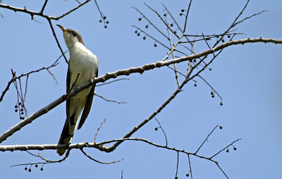 This Yellow-billed Cuckoo was catching insects in this tree at the entrance to Boy Scout Woods Sanctuary, Houston Audubon Society, High Island, TX.
