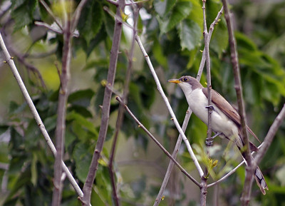 Yellow-billed Cuckoo photographed in Bear Creek Park