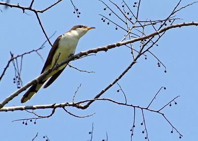 Cuckoos and Roadrunners