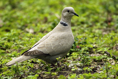 This Ringed Turtle or Eurasian collared Dove and companion landed in front of the bleachers at Boy Scout Woods Sancturary in High Island.  The HAS operates the bird sanctuaries in High Island and does an outstanding job of providing habitat for migrating birds and hosting the hundreds of birders who visit each spring.
