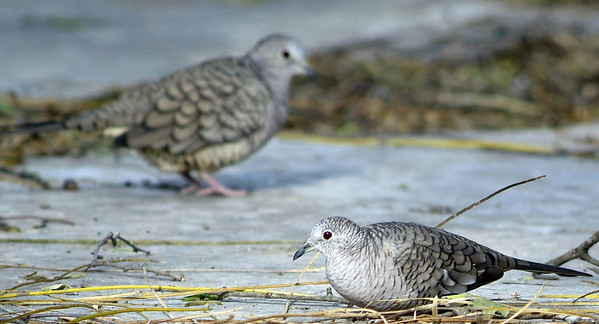 These Inca Doves were photographed at the DeWind's place in Salineno, TX.