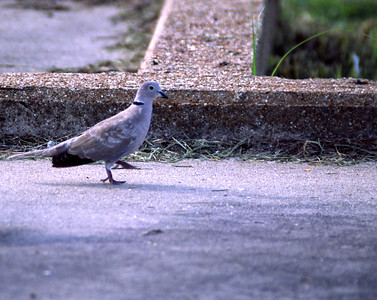 This Eurasian Collared-Dove was photographed in Ft. Travis on the Bolivar Penisular, Texas coast.