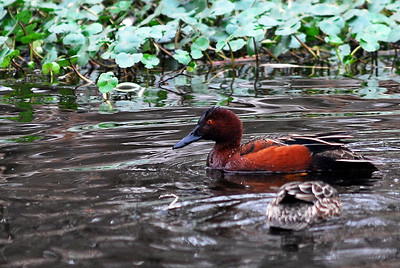 Cinnamon Teal, Brazos Bend State Park Jan '09