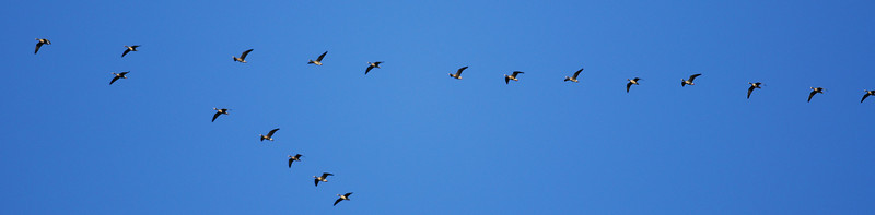 "White-fronted geese fly overhead in ""V"" formation, Attwater NWR"