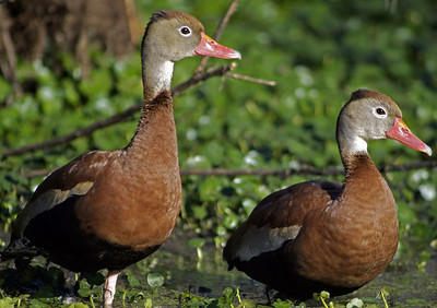 Pair of Black-bellied Whistling Duck