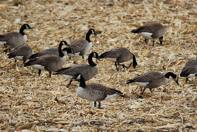 Canada Geese photographed near St. Charles, IL