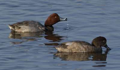Two Redhead Ducks photographed in South Padre Island, TX.