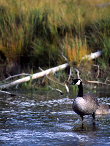 Canada Goose photographed in Yellowstone National Park