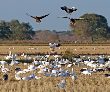 Three White-fronted Geese (Speckled Bellies) land amoung a large flock of Snow Geese. (Katy Prairie off FM529)