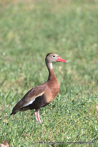 Black-bellied Whistling-Duck 6704