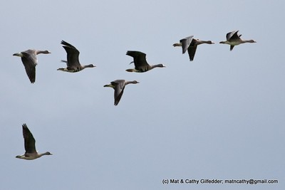 Greater White-fronted Goose 5660
